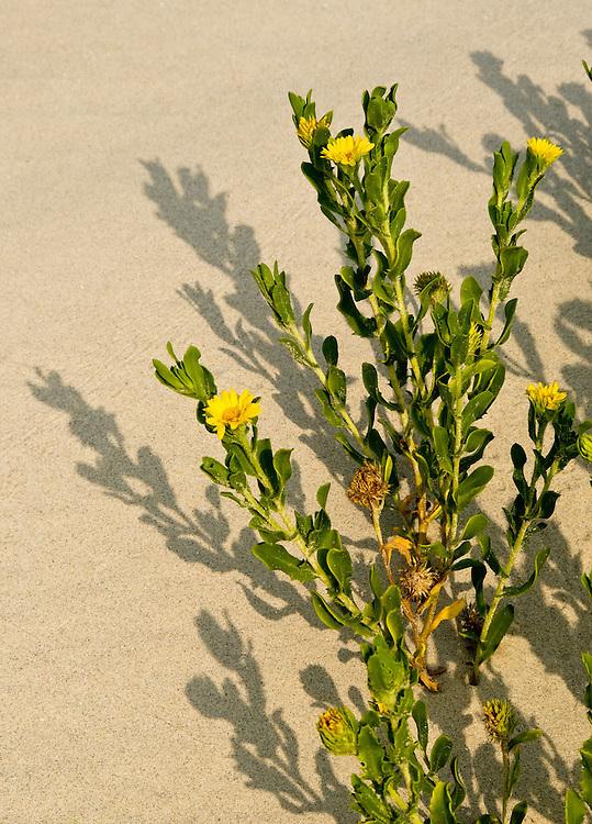 Yellow Beach Flowere