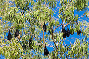 Colony of Spectacled Flying-fox bats, Port Douglas, Queensland, Australia