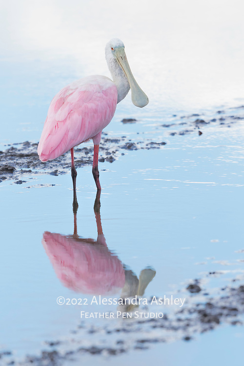 Roseate spoonbill (Platalea ajaja) holds up its spoon-shaped bill while foraging in shallow water at Merritt Island NWR on Florida's Atlantic coast.