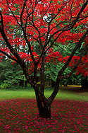 Fall colours of a Japanese Maple (Acer Japonica) in Williams Park, Langley, British Columbia, Canada