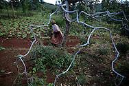 A woman walks through a grove of Khat trees in Meru where the plant is grown.