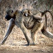 Krugerparken 2002 07 Syd Afrika<br /> Babian med baby<br /> <br /> <br /> FOTO JOACHIM NYWALL KOD0708840825<br /> COPYRIGHT JOACHIMNYWALL:SE<br /> <br /> ****BETALBILD****<br />  <br /> Redovisas till: Joachim Nywall<br /> Strandgatan 30<br /> 461 31 Trollhättan<br />  Prislista: BLF, om ej annat avtalats