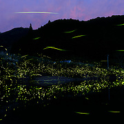 This is a species of flashing firefly in Japan known as genjibotaru (Luciola cruciata) engaging in group bioluminescent display along the bank of a small river in Shikoku province. The light of the fireflies is being reflected off the surface of the water. This activity commences at dusk and carries on through the night. This image is a composite of seventeen photographs.