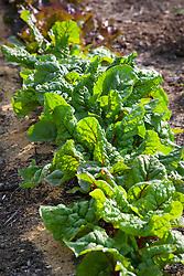 Line of Ruby chard growing in a vegetable garden. Beta vulgaris