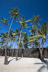 The Great Wall, bult in the mid-1500s by Hawaiians, and Coconut Palms, Cocos nucifera, Pu`uhonua o Honaunau or Place of Refuge National Historical Park, Honaunau, Big Island, Hawaii