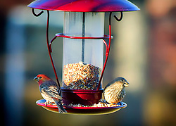 A male and female house finch on the feeder at the same time