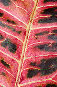 Close-up abstract of the leaf of a Variegated croton plant (Codiaeum variegatum) at the Baytree Garden Centre Spalding Lincolnshire