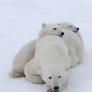 Polar bear cubs of the year waiting patiently for the ice to freeze with their mother at Cape Churchill, Manitoba, Canada.