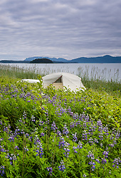 Nootka lupine blooms on Kidney Island near a kayaker's wilderness campsite in Glacier Bay National Park and Preserve located in the Beardslee Islands of the park in southeast Alaska. EDITORS NOTE: This image is a focus blend image comprised of several images having different planes of focus.