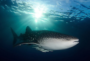 A whale shark (Rhincodon typus), near the surface as the evening sun descends, sending shafts of light over the shark. Image taken in Cenderawasih Bay, Papua, Indonesia.   The image was taken with a Nikon D700 in a SEACAM housing using a Nikkor16mm fisheye lens and 2 SEACAM S150D submersible strobe lights.