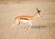 Springbuck in open grassland, Etosha National Park..