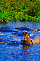 A yawning hippo in a pond in the Ngorongoro Crater, Ngorongoro Conservation Area, Tanzania