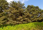 Pine trees and bracken vegetation, Suffolk Sandlings AONB, Sutton, Suffolk, England, UK