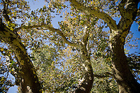 Oriental Plane; Pindos Mountains, Greece, Pindos Mountains, Pindos NP, Vallia Calda, Platan trees in Metsovo town (Platanus orientalis)