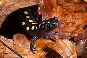 Spotted Salamander (Ambystoma maculatum)<br /> CAPTIVE<br /> Northern Georgia<br /> USA<br /> HABITAT & RANGE: Hardwood &  mixed deciduous forests. Usually beneath ground level but pond nearby needed for laying eggs. Eastern United States.