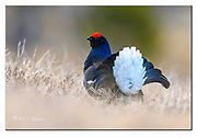Black grouse displaying one early morning in April, southern Norway. Nikon D500, 600mm (900mm in full frame), f4, 1/400sec, ISO500, Manual modus.