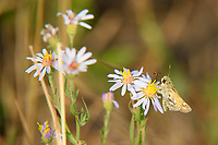 This attractive aster-loving skipper butterfly is found in the western half of North America from Northern Mexico to Southern Canada, and can be quite variable in appearance,  and coloration, but the distinct wing markings make it easy to identify. This one was found near Jackson, Wyoming where dozens were seen feeding on summer wildflowers in a field.
