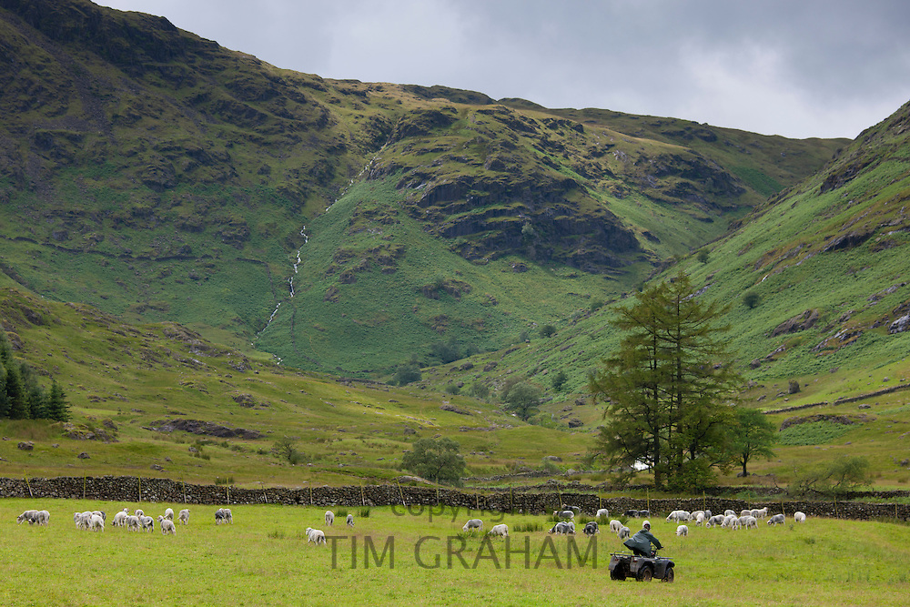 Herdwick sheep near Thirlmere in the Lake District National Park, Cumbria, UK