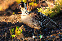 Nene - Hawaiian Goose, Volcanoes National Park Hawaii. Image taken with a Nikon D2xs and 80-400 mm VR lens (ISO 400, 400 mm, f/8, 1/180 sec)