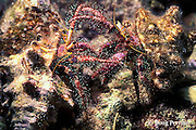 hermit crabs, Dardanus lagopodes, fighting for possession of shell, Fathers Islands, Papua New Guinea ( Bismarck Sea )