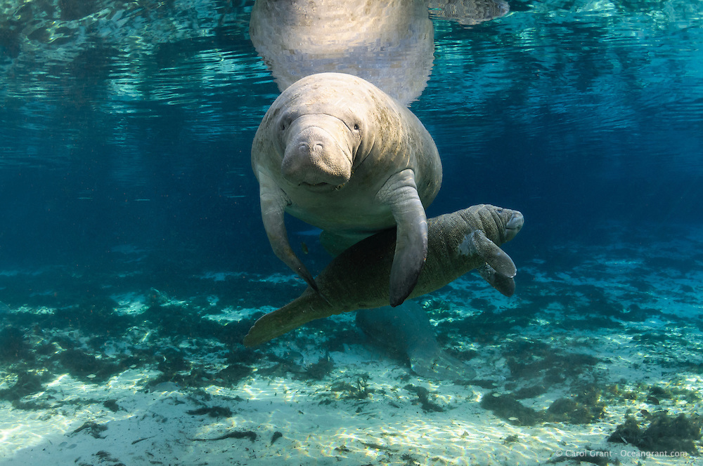 Florida manatee, Trichechus manatus latirostris, a subspecies of the West Indian manatee, endangered. Series depicting the close bond of manatee mother and calf. A mother and calf float at the calm surface while the mother appears to try to corral the active calf. A fish, bream, Lepomis spp., is present. Another manatee rests below. Peaceful, natural, undistrubed scene. Horizontal orientation with blue spring water, rainbow sun rays and reflection. Three Sisters Springs, Crystal River National Wildlife Refuge, Kings Bay, Crystal River, Citrus County, Florida USA.
