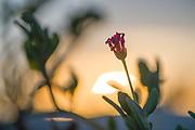 Sand verbena, sunset, February, Scorpion Bay, San Juanico, Baja, Mexico