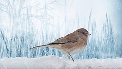 """A Female Dark-Eyed Junco Foraging For Food in the Snow During A Cold Blue Winter Day.<br /> <br /> Females and juvenile birds are generally paler and show a greater mixture of brown in the plumage. Generally, there is less white on the outer tail feathers in juvenile and female birds. There is, however, much individual variation.<br /> <br /> The Dark-eyed Junco is the best-known species of the juncos, a genus of small grayish American sparrows. This bird is common across much of temperate North America and in summer ranges far into the Arctic. Dark-eyed Juncos are neat, even flashy little sparrows that flit about forest floors of the western mountains and Canada, then flood the rest of North America for winter. They're easy to recognize by their crisp (though extremely variable) markings and the bright white tail feathers they habitually flash in flight. One of the most abundant forest birds of North America, you'll see juncos on woodland walks as well as in flocks at your feeders or on the ground beneath them. <br /> <br /> Juncos are the """"snowbirds"""" of the middle latitudes. Over most of the eastern United States, they appear as winter sets in and then retreat northward each spring. Some juncos in the Appalachian Mountains remain there all year round, breeding at the higher elevations. These residents have shorter wings than the migrants that join them each winter. Longer wings are better suited to flying long distances, a pattern commonly noted among other studies of migratory vs. resident species."""