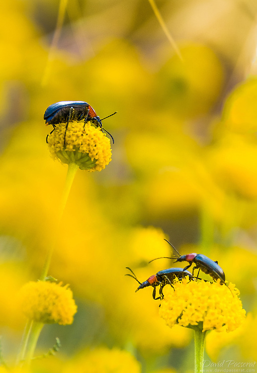 Bugs on yellow flowers.