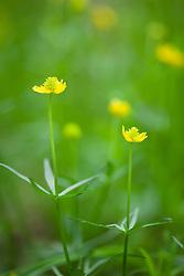 Goldilocks. Woodland buttercup. Ranunculus auricomus