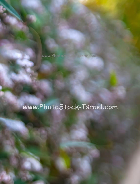 Selective focus Abstract white flowers on a shrubbery