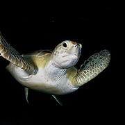 Green sea turtle (Chelonia mydas) in the late evening in The Bahamas