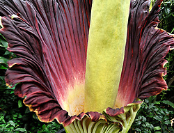 "©London News pictures...27/10/2010.  The 'flower' that smells like rotting meat is flowering today in its full smelly bloom. The display could last for two more days - titan arums are usually spent within three days of flowering. This morning, the flower began to unfurl and reveal it's blood-red interior. The pungent aroma has slowly spread around the Princess of Wales Conservatory, described as a mixture of rotting flesh and boiled cabbage. This strong smell has earned titan arum the name of 'corpse flower'. Phil Griffiths, Head of Glasshouses, at Kew Gardens said, ""The titan arum is one the most dramatic flowerings in the natural world and is truly remarkable. They usually only last for three days so visitors should get down to the Gardens as soon as they can to see the first of the titan arums in bloom"". The titan arum is the world's largest 'flower' and is native to Sumatra where it lives in moist rainforest conditions. In the wild, its enormous red flower and pungent aroma becomes an irresistible invitation to sweat bees and carrion flies."