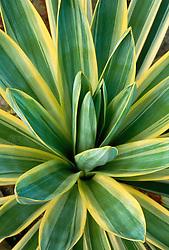 Yucca gloriosa 'Variegata' - Spanish dagger