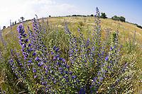 Natternkopf, Echium vulgare, Ost Slowakei / Viper's Bugloss, Echium vulgare, East Slovakia