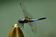 Dragonfly sitting on flower, East Lake Greenway park, Wuhan, Hubei, China
