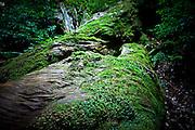 Japan, Yakushima - Moss on a broken cedar tree, the stripe are twisted.