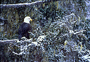 Alaska. Haines. Chilkat Bald Eagle Preserve. Valley of the Eagles.