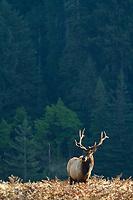 Rosevelt elk  in in Prairie Creek Redwoods State Park in northern California.