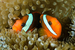 Pair of Tomato Anemonefish, Amphiprion frenatus, snuggling in their host anemone. Cenderawasih Bay, West Papua, Indonesia