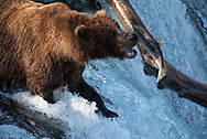 Bear 775 Lefty attempts to catch a fish at Brooks Falls in Katmai National Park, Alaska
