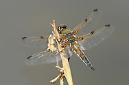 4-spotted Chaser - Libellula quadrimaculata