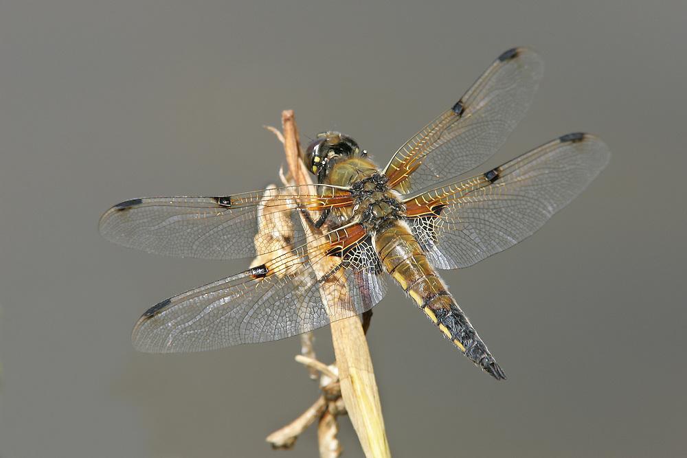 4-spotted Chaser - Libellula quadrimaculata