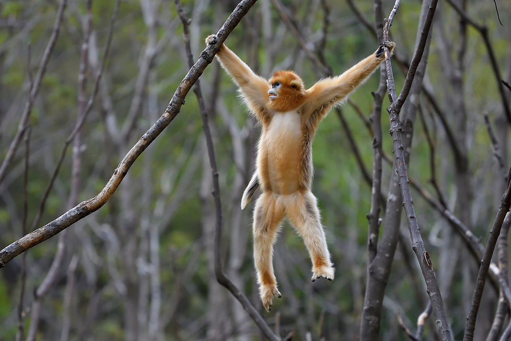 Golden Snub-nosed Monkey, Rhinopithecus roxellana, hanging and holding on with its hands to a branch, Foping Nature Reserve, Shaanxi, China