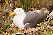 Western gull (Larus occidentalis) on nest, Anacapa Island, Channel Islands National Park, California
