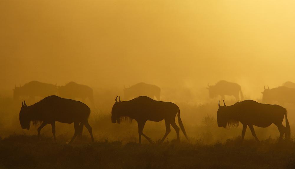 Blue wildebeest or gnu, Connochaetes taurinus,  Serengeti NP, Tanzania
