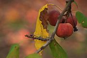 Ripe apple on an Apple tree