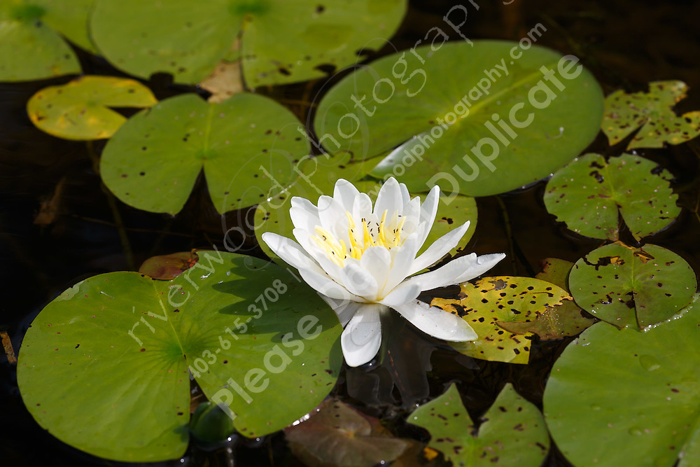 This beautiful water lily was swarming with aquatic black aphids.<br /> <br /> ©2015, Sean Phillips<br /> http://www.RiverwoodPhotography.com