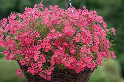 Diascia Red Ace syn. 'Hecrace' in a hanging basket