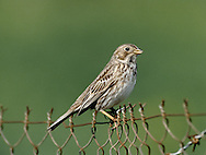 Corn Bunting Miliaria calandra L 16-18cm. Plump-bodied bunting with non-descript plumage but distinctive song. Dangles legs when flying short distances. Forms flocks in winter. Sexes are similar. Adult and juvenile have streaked brown upperparts and whitish underparts, streaked on breast and flanks, and flushed buff on breast. Bill is stout and pinkish buff. Voice Utters a tsit call. Jingling song is sung from fencepost or overhead wire. Status Local and declining bird of cereal fields, particularly barley. Has suffered terribly from modern farming practises.