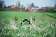Buzzard flying low over grassland Buteo buteo, UK, captive